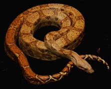 Name:  Snake-Boa89_bg.png Views: 2420 Size:  149.4 KB
