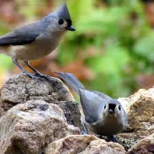Name:  titmouse pair.jpg