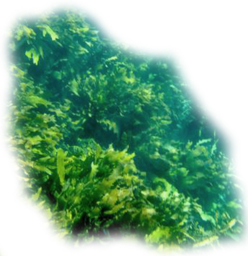 Click image for larger version.  Name:seaweed3.png Views:8 Size:277.2 KB ID:115941