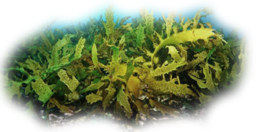Click image for larger version.  Name:seaweed2.png Views:11 Size:177.5 KB ID:115946
